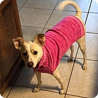 Adopt A Pet :: Amy In Dallas - Dallas/Ft. Worth, TX