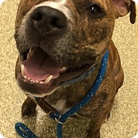 Pit Bull Terrier Mix Dog for adoption in Cranston, Rhode Island - Tyson