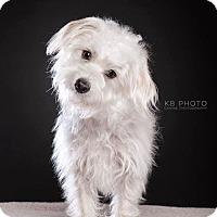 Adopt A Pet :: Danny Boy - Huntsville, AL