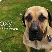 Adopt A Pet :: Roxy - Valparaiso, IN