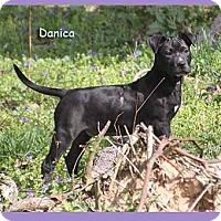 Adopt A Pet :: Danica - South Bend, IN