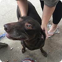 Adopt A Pet :: Brandy - Santa Clarita, CA