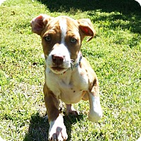 Adopt A Pet :: Remie - Valley Stream, NY