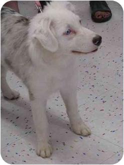 Australian Shepherd Puppy for adoption in Mesa, Arizona - Morgan