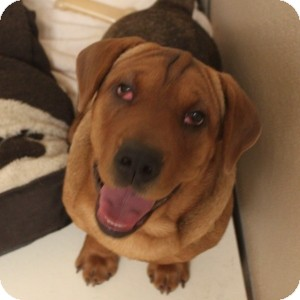 Basset Hound/Shar Pei Mix Dog for adoption in Naperville, Illinois - Callie
