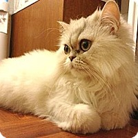 Adopt A Pet :: Kisya - Beverly Hills, CA