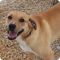 Boxer/Labrador Retriever Mix Dog for adoption in Hartselle, Alabama - Boss Hogg