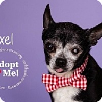 Chihuahua Mix Dog for adoption in Mesa, Arizona - Axel