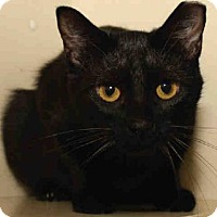 Domestic Mediumhair Cat for adoption in Pittsburgh, Pennsylvania - EBONY