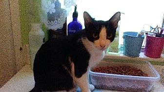 Domestic Shorthair Kitten for adoption in Sarasota, Florida - Uno