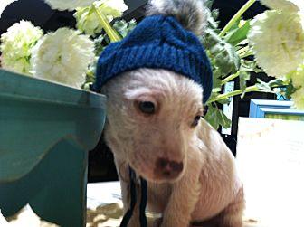 Boxer/Australian Shepherd Mix Puppy for adoption in Boerne, Texas - Finnigan