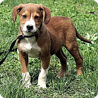 Adopt A Pet :: Jaxon - Plainfield, CT