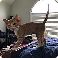 Adopt A Pet :: Stampy - Smithfield, NC
