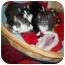 Photo 1 - Domestic Shorthair Kitten for adoption in Little Neck, New York - home 4 xmas