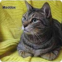 Adopt A Pet :: Maddox - Portland, OR