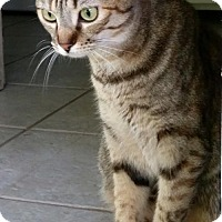 Domestic Shorthair Cat for adoption in Alvin, Texas - Emily