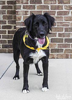 Flat-Coated Retriever/Border Collie Mix Dog for adoption in Charlotte, North Carolina - Georgia