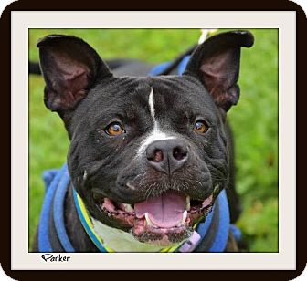 Pit Bull Terrier Mix Dog for adoption in Memphis, Tennessee - Parker