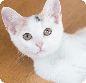 Calico Cat for adoption in Chicago, Illinois - Mystique