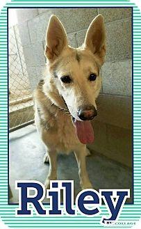 German Shepherd Dog/Husky Mix Dog for adoption in Edwards AFB, California - Riley