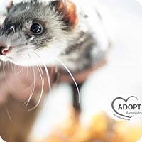 Ferret for adoption in Alexandria, Virginia - Snap