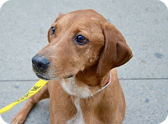 Redbone Coonhound Mix Dog for adoption in New York, New York - Jake