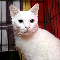 Adopt A Pet :: Saphira - Fairfax Station, VA