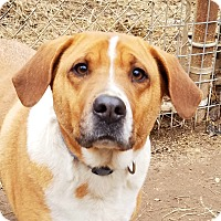 Beagle/Hound (Unknown Type) Mix Dog for adoption in Kingston, Tennessee - Polly