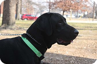 Labrador Retriever/Great Dane Mix Dog for adoption in Jerseyville, Illinois - Charlie
