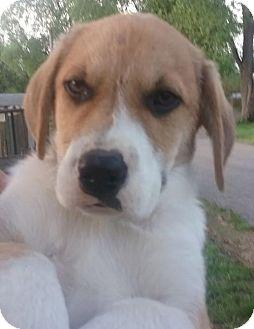 Great Pyrenees/Hound (Unknown Type) Mix Puppy for adoption in St Louis, Missouri - Jupiter
