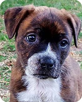 Pit Bull Terrier Mix Dog for adoption in Hillsboro, New Hampshire - Stephanie
