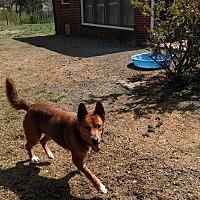 Adopt A Pet :: Bean - Mocksville, NC