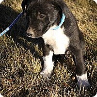 Adopt A Pet :: Twinkle McJingles - Broomfield, CO