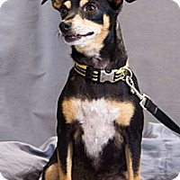 Chihuahua Dog for adoption in Crescent, Oklahoma - Peanut