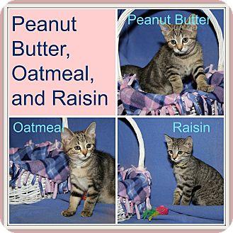 Domestic Shorthair Kitten for adoption in Marietta, Ohio - Peanut Butter/Oatmeal/Raisin