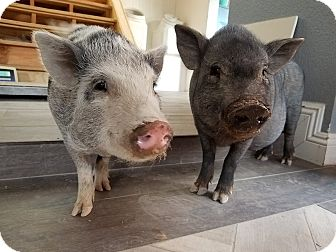 Pig (Potbellied) for adoption in Las Vegas, Nevada - Pearl & Sweet Pea