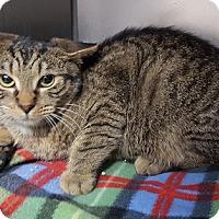 Domestic Shorthair Cat for adoption in Gatineau, Quebec - Derek