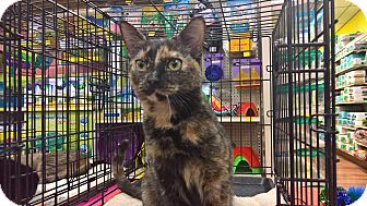 Domestic Shorthair Cat for adoption in Raleigh, North Carolina - PEPPER