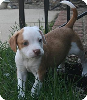 Terrier (Unknown Type, Medium)/Hound (Unknown Type) Mix Puppy for adoption in Holly Springs, North Carolina - Nutmeg