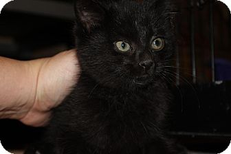 Domestic Shorthair Kitten for adoption in Chicago, Illinois - Ivy