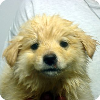Golden Retriever/Labrador Retriever Mix Puppy for adoption in Greencastle, North Carolina - Venus