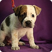 Adopt A Pet :: Curl - Broomfield, CO
