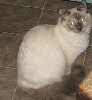 Domestic Mediumhair Cat for adoption in Coos Bay, Oregon - Laverne