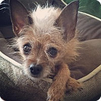 Adopt A Pet :: Gigi lap dog - Beverly Hills, CA
