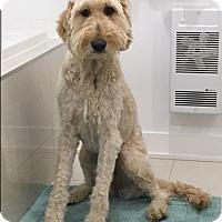 Adopt A Pet :: Maya CURTESY HELP - Montreal, QC