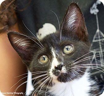 Domestic Shorthair Kitten for adoption in Huntsville, Alabama - Socks
