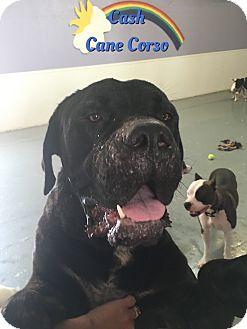 Cane Corso Dog for adoption in Cheney, Kansas - Cash