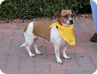 Dachshund/Chihuahua Mix Dog for adoption in Las Vegas, Nevada - GEMMA