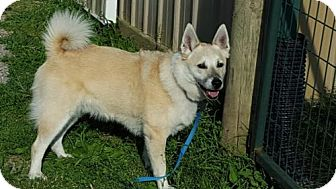 Norwegian Buhund Dog for adoption in Christiana, Tennessee - Fenrir