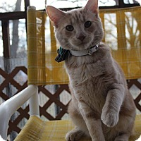 Domestic Mediumhair Kitten for adoption in Winchester, Virginia - Wilder